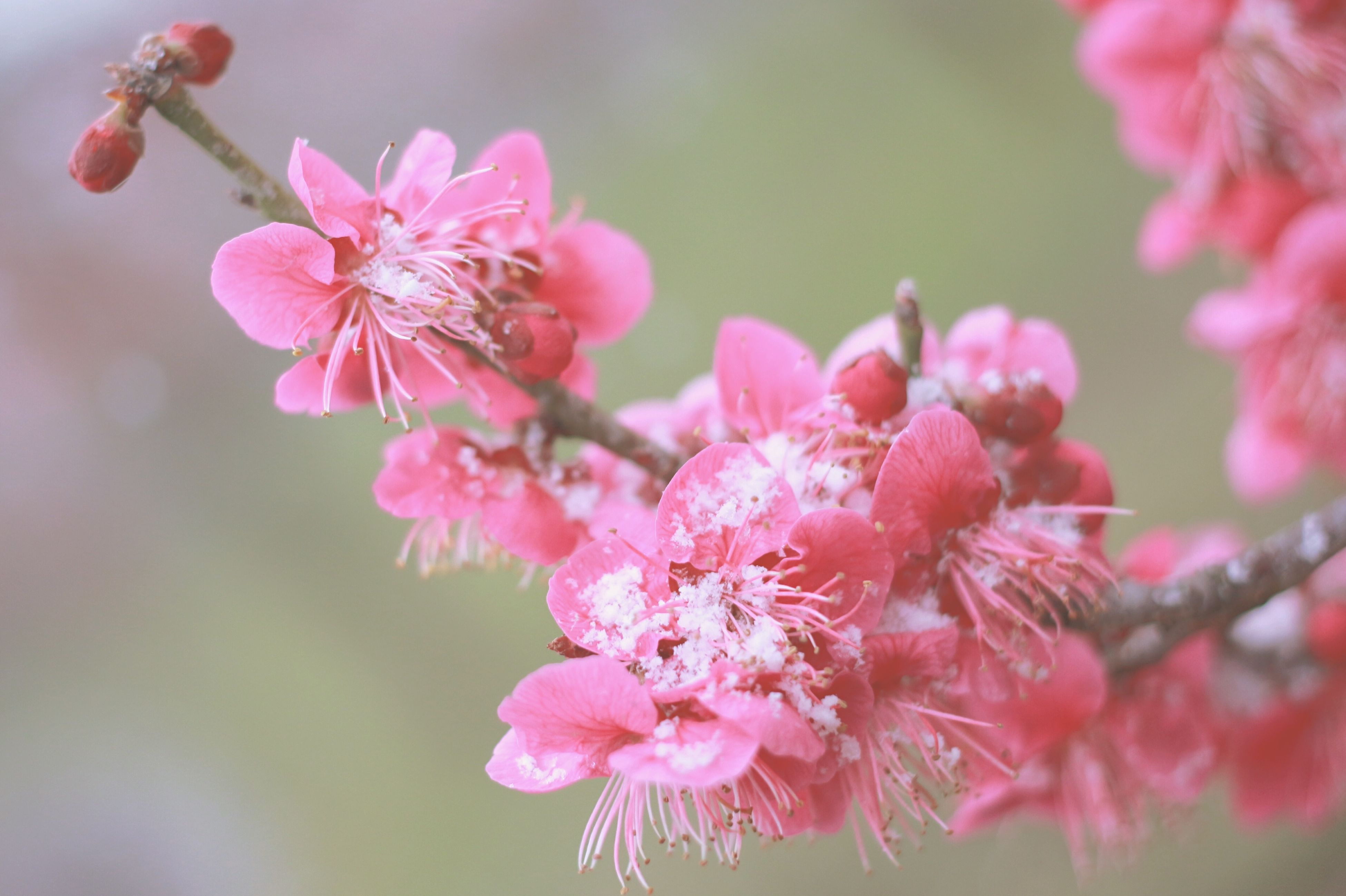 flower, freshness, pink color, fragility, growth, petal, beauty in nature, focus on foreground, close-up, nature, branch, flower head, blooming, pink, blossom, in bloom, bud, twig, plant, selective focus