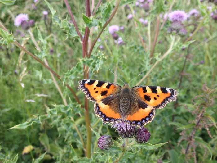 Tortoiseshell butterfly Animal Markings Beauty In Nature Butterfly Flower Fragility Insect Natural Pattern No People Orange Color Petal Plant Pollination Thistle Tortoiseshell Wildlife
