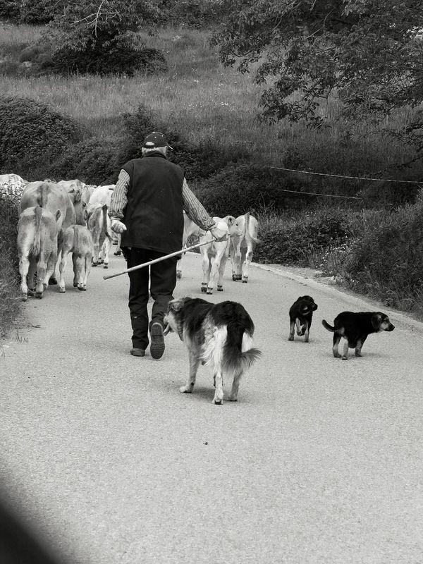 Peace Photo Snikttt Spring Travel Photography Bretui Mountain Cow Vaques Pastor Dogs Gossos