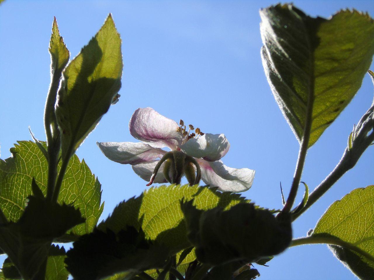 Apfelblüte Enjoying Life Enjoying The Sun EyeEm Best Shots EyeEm Nature Lover Hello World I Like This Shot I LIKE👍EyeEm😃👍 I LOVE PHOTOGRAPHY Single Flower Springtime Sunnyday☀️ Taking Photos Waiting For A Bee