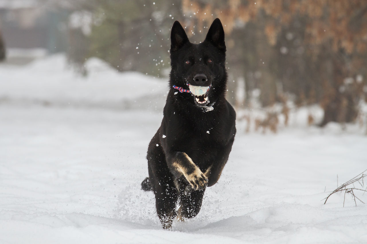 Beautiful stock photos of german shepherd,  Ball,  Beauty In Nature,  Black Color,  Canine