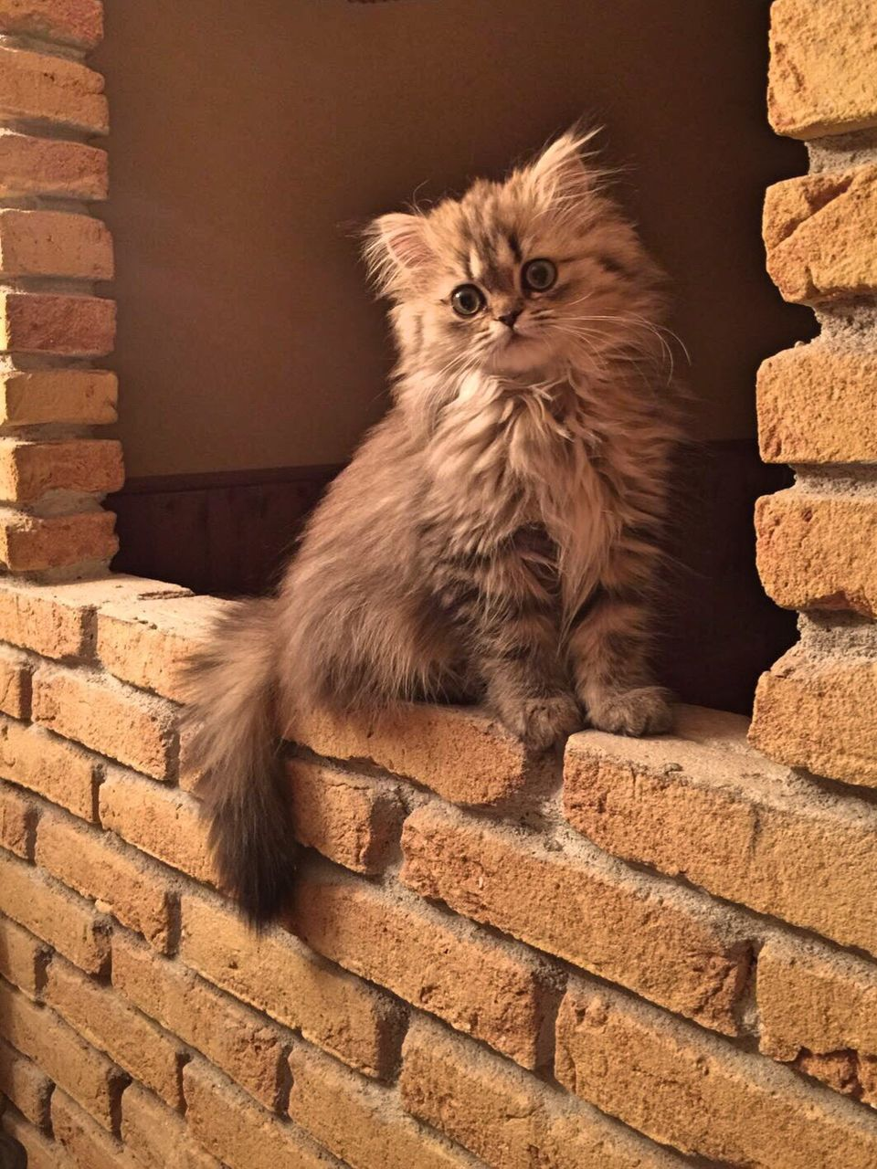 domestic cat, mammal, feline, animal themes, pets, one animal, domestic animals, brick wall, looking at camera, no people, portrait, built structure, day, indoors, persian cat, architecture