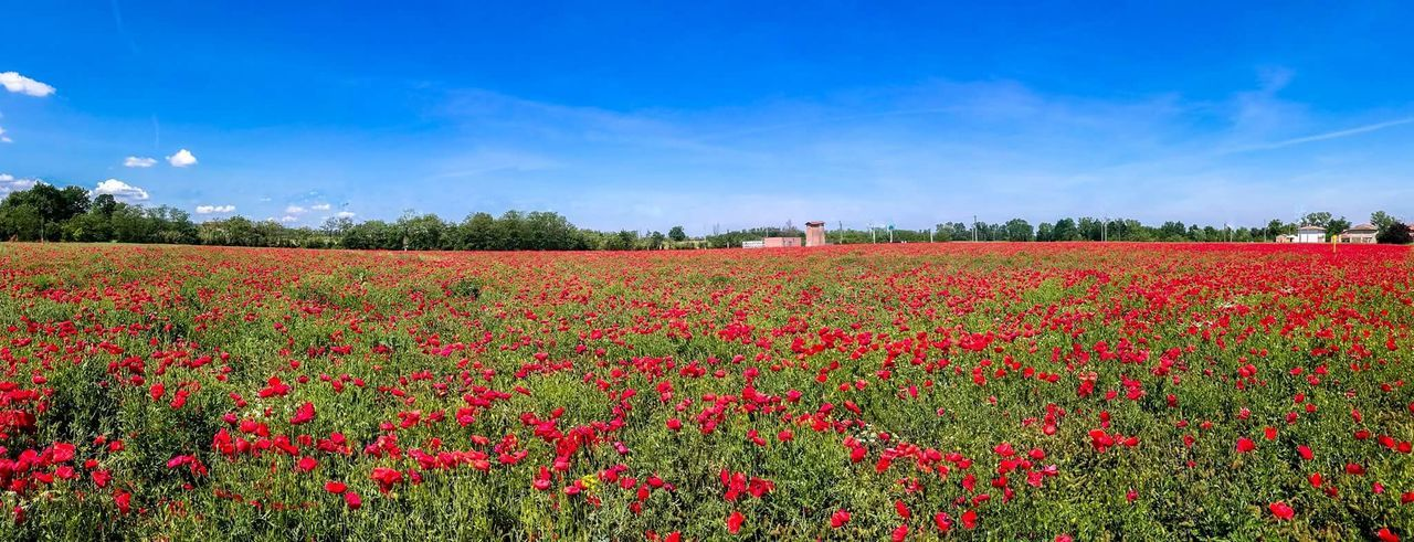 Field Flower Red Agriculture Plant Rural Scene Summer Sky Beauty In Nature Cloud - Sky Growth Poppy Nature Springtime Abundance Tree Farm Crop  Happy :) Happy People Beauty Photography Agriculture Happiness Grass