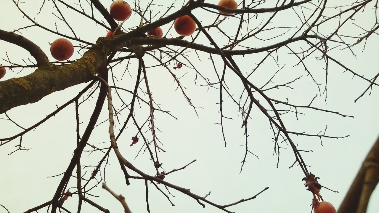 Tree Persimmon Tree Cloudy Skies Monotone Autumn Collection Autumn Colors Autumn Fruits Open Edit EyeEm Nature Lover