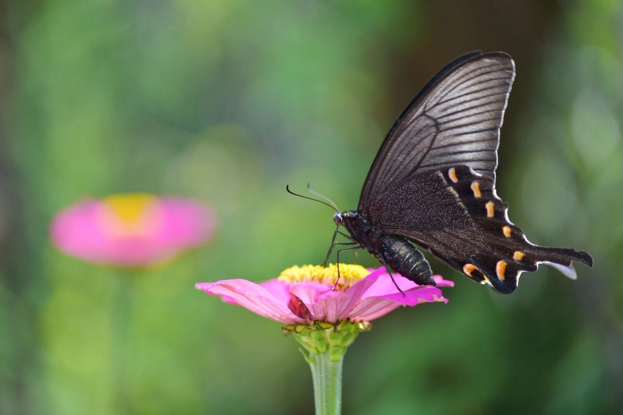 Close-Up Of Butterfly Pollinating On Pink Zinnia At Park