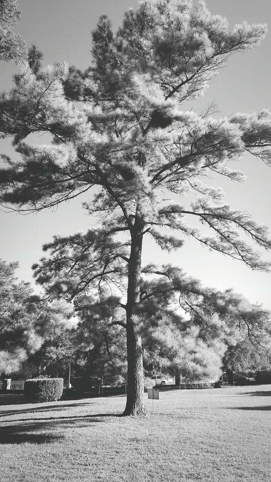 Tree Sky Growth Nature No People Beauty In Nature Green Color Day Outdoors Low Angle View Scenics Blackandwhite Justatree Black And White Collection