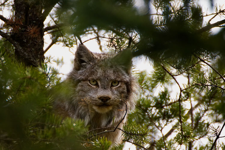 Canadian lynx in a jack pine tree, in northern Ontario, Canada. Canadian Lynx Canadian Wild Life EyeEmNewHere In A Tree Wildlife & Nature Animal Themes Animal Wildlife Animals In The Wild Close-up Grey Lynx Looking At Camera Lynx One Animal Outdoors Portrait Raccoon Tree Up A Tree Wild Wildlife