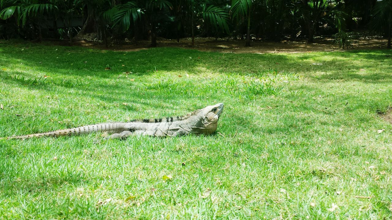 grass, field, one animal, outdoors, nature, animal themes, green color, day, animals in the wild, no people, growth, lying down, tree, mammal, reptile