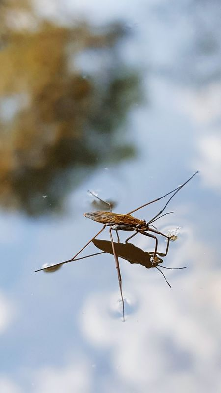 Fly Afternoon Walk On My Way Water Pond Reflection Reflection_collection Long Legs Thin Legs Nature Nature Photography Animal Photography Insect Animal Walk On Water Interesting Fast Motion Fast Moving Little