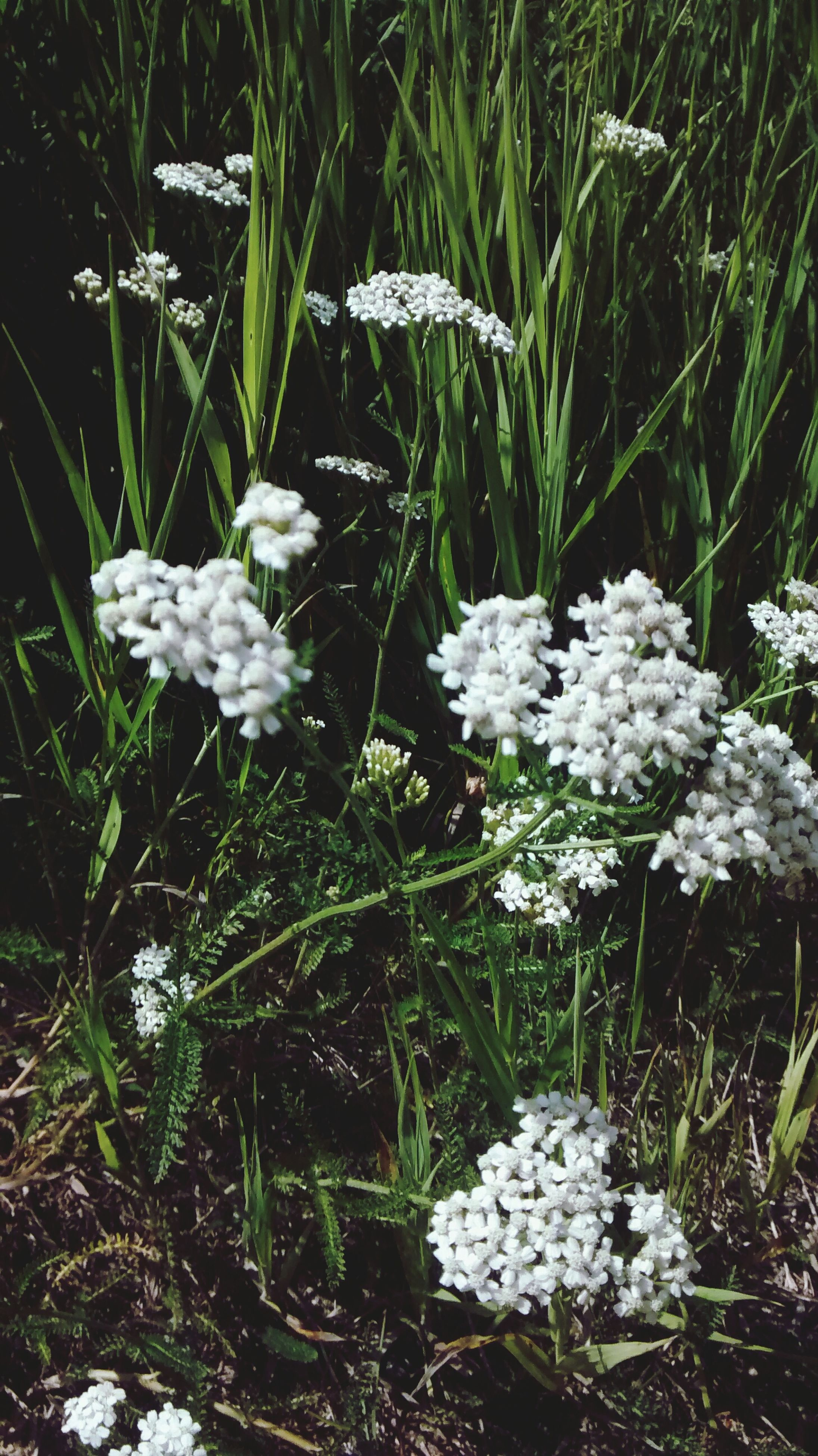 flower, white color, growth, plant, fragility, freshness, nature, beauty in nature, field, petal, blooming, season, white, day, outdoors, in bloom, flower head, grass, no people, tranquility, growing, green color, blossom, botany, close-up, weather, abundance
