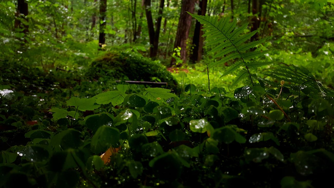 Rainy day in the forest Beauty In Nature Day Forest Green Color Growth Holiday Leaf Nature No People Outdoors Poland Rain Summer Tear Tree