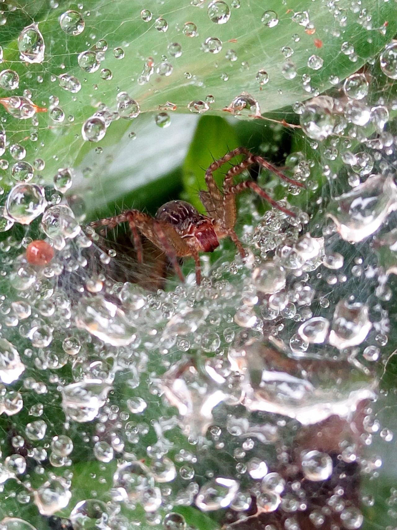 In the nest. Spider Jumping Spider Garden Spider Splash Raindrops Peeking After Rain Garden Backyard Nest Spiderweb