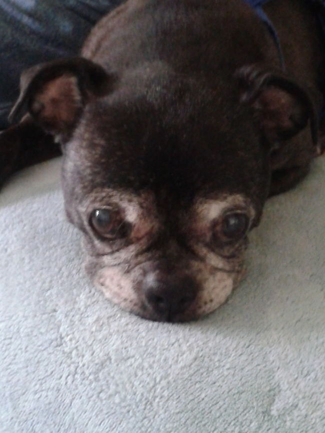 American Bulldog Buster Puppy Big Eyes Pout Dog Dog Love Beggar No People