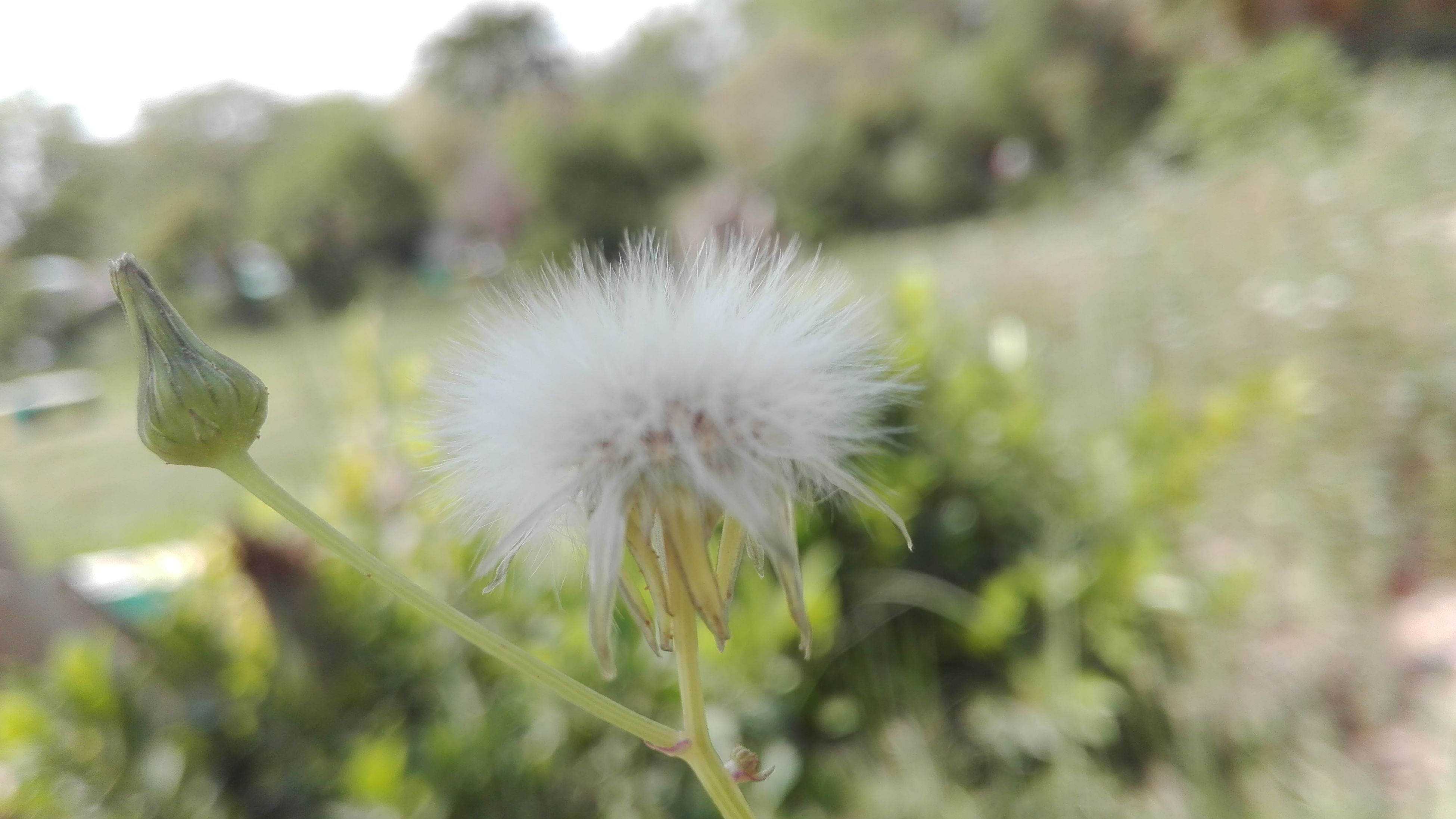dandelion, flower, growth, fragility, freshness, focus on foreground, close-up, nature, beauty in nature, flower head, plant, stem, wildflower, uncultivated, selective focus, single flower, softness, day, field, seed