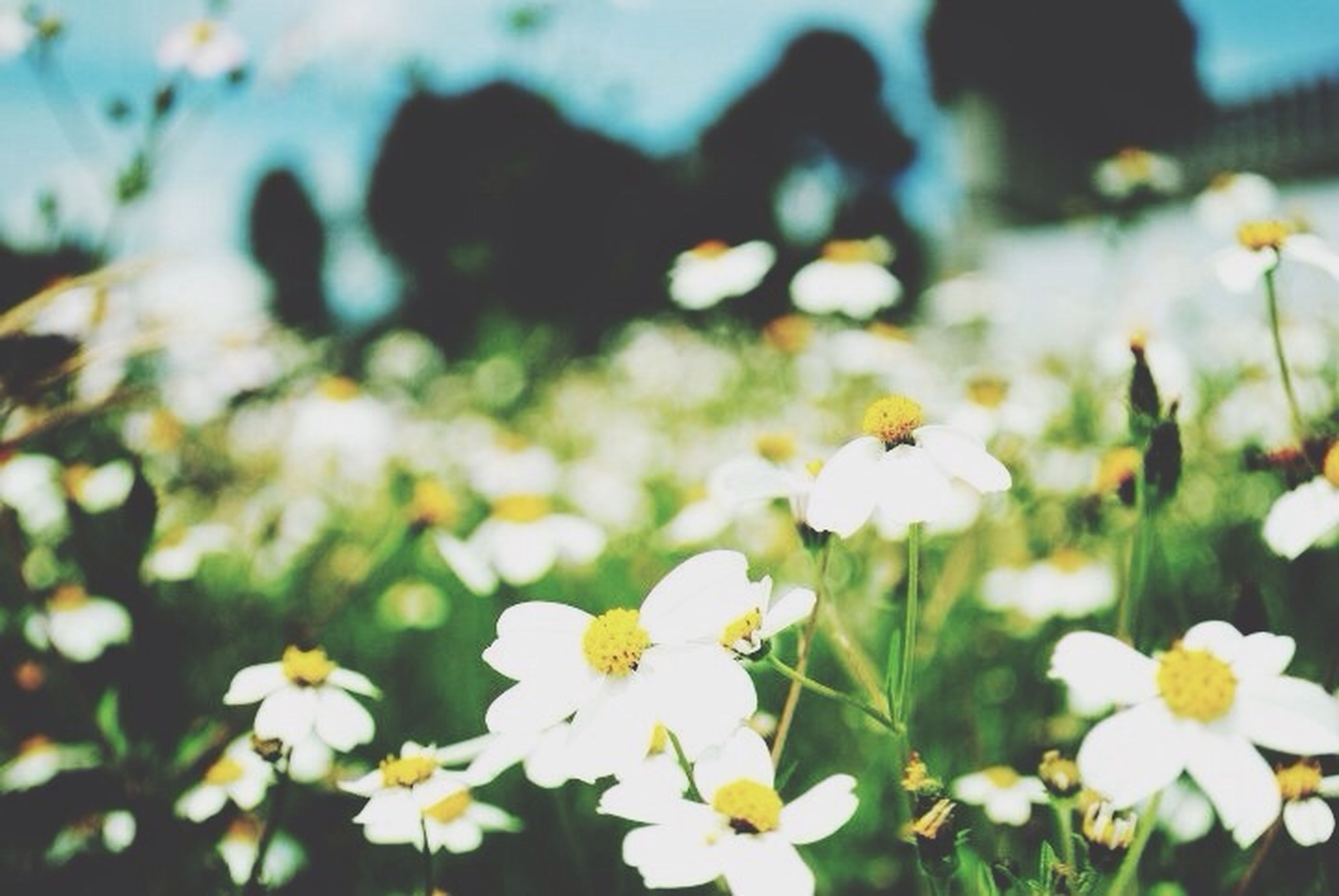 flower, white color, fragility, petal, freshness, growth, flower head, focus on foreground, blooming, beauty in nature, nature, daisy, selective focus, close-up, plant, white, in bloom, field, outdoors, park - man made space