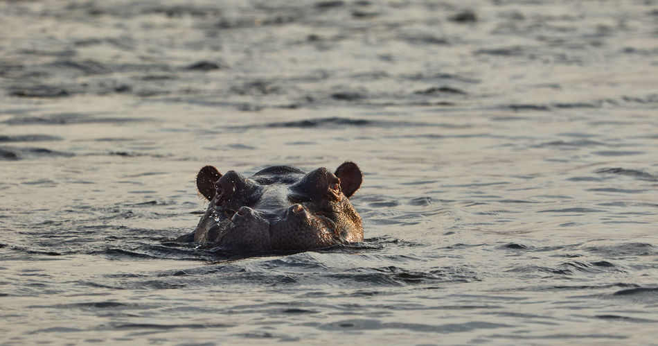 Swimming Hippo in Namibia Animal Animal Wildlife Animals In The Wild Day Ears Hippo Hippopotamus Mammal Namibia Nature No People Okavango River Outdoors Outdoors Photograpghy  River Sea Sea Life Sunset Swimming Water Wild Wildlife Wildlife & Nature Wildlife Photography