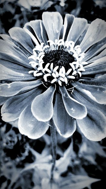 For the Love of Flowers B&w Flowers Nature Upclose  First Eyeem Photo