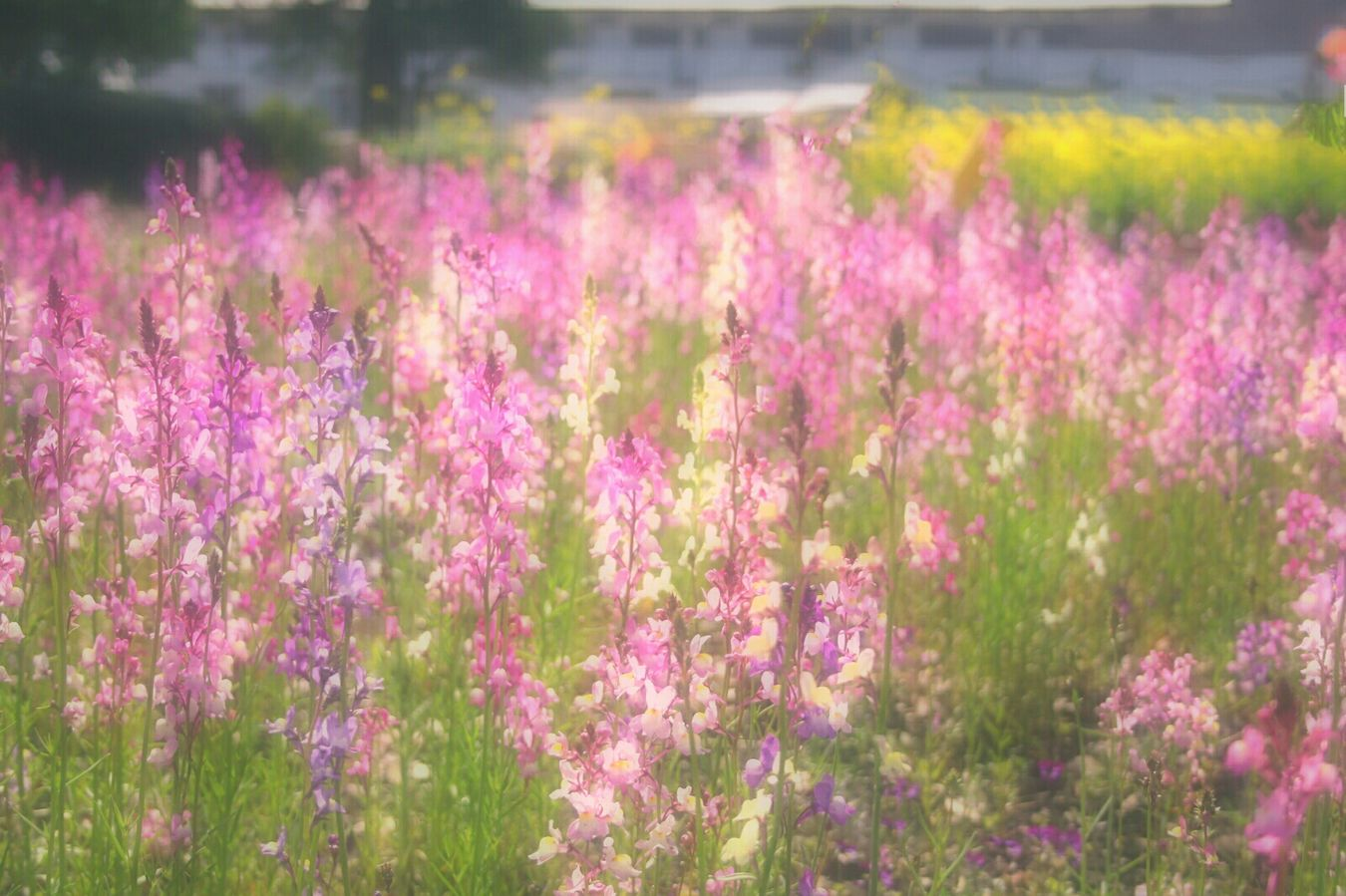 Showcase April Relaxing Spring Time 春 Spring Colors Spring Colours Bokeheffect Flowers EyeEm Nature Lover EyeEm Flower Bokeh Hazy Days Dreamfantasy Pink Airy Flowers Flower Collection お花畑