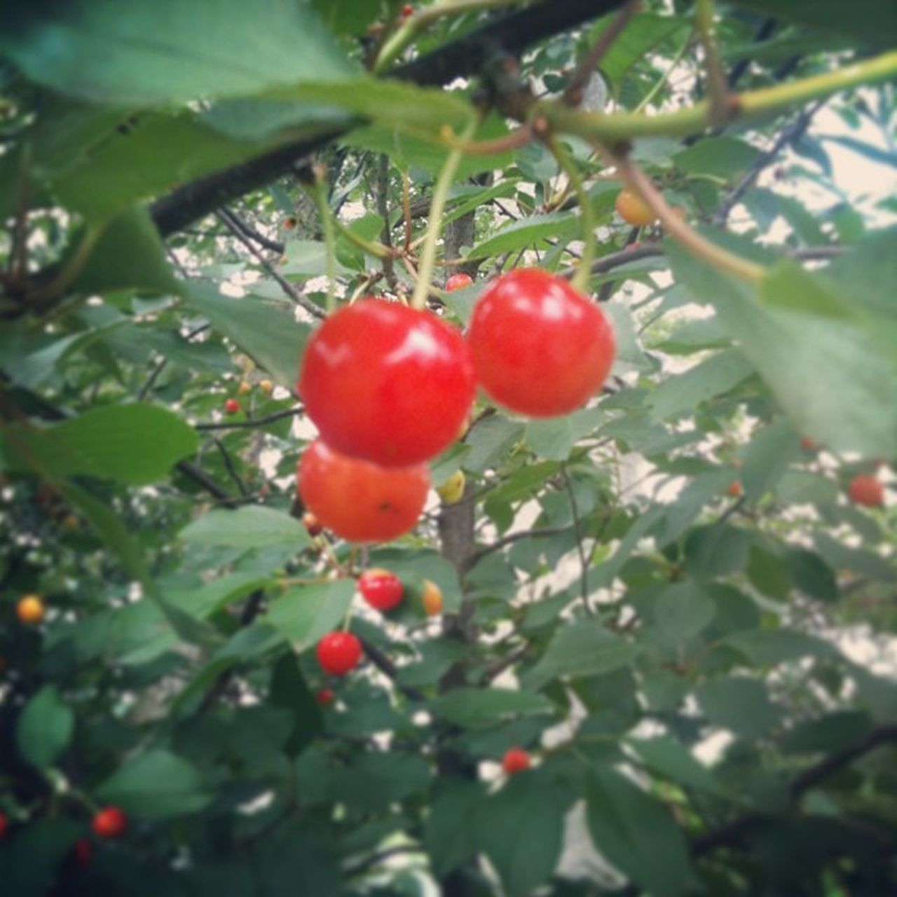 fruit, food and drink, growth, red, tree, food, growing, healthy eating, leaf, nature, ripe, freshness, day, outdoors, no people, green color, branch, beauty in nature, plant, agriculture, low angle view, close-up