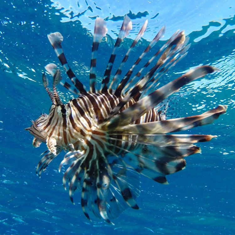 Foto di un bellissimo Lionfish 😉👍 scattata con GoPro Hero 3 BLACK Sea Life Swimming Wildlife Sea Water Animal Reef Fish Animals In The Wild Lionfish Egipto First Eyeem Photo