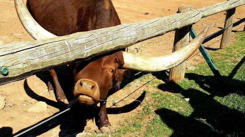 Nature Zoo Animal Themes Animal Wildlife Animal One Animal Watusi Vache Afrique