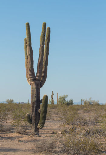 Bifurcated Blue Cactus Clear Sky Copy Space Day Desert Live Long And Prosper Nature No People Outdoors Remote Saguaro Sahuaro Scrub Sky Unusual Saguaro Vulcan