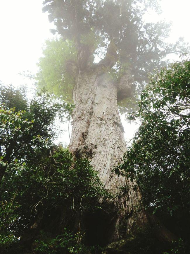 屋久島 紀元杉 Japan Tree Nature Mountains Protecting Where We Play My Country In A Photo The Traveler - 2015 EyeEm Awards Share Your Adventure EyeEm Nature Lover