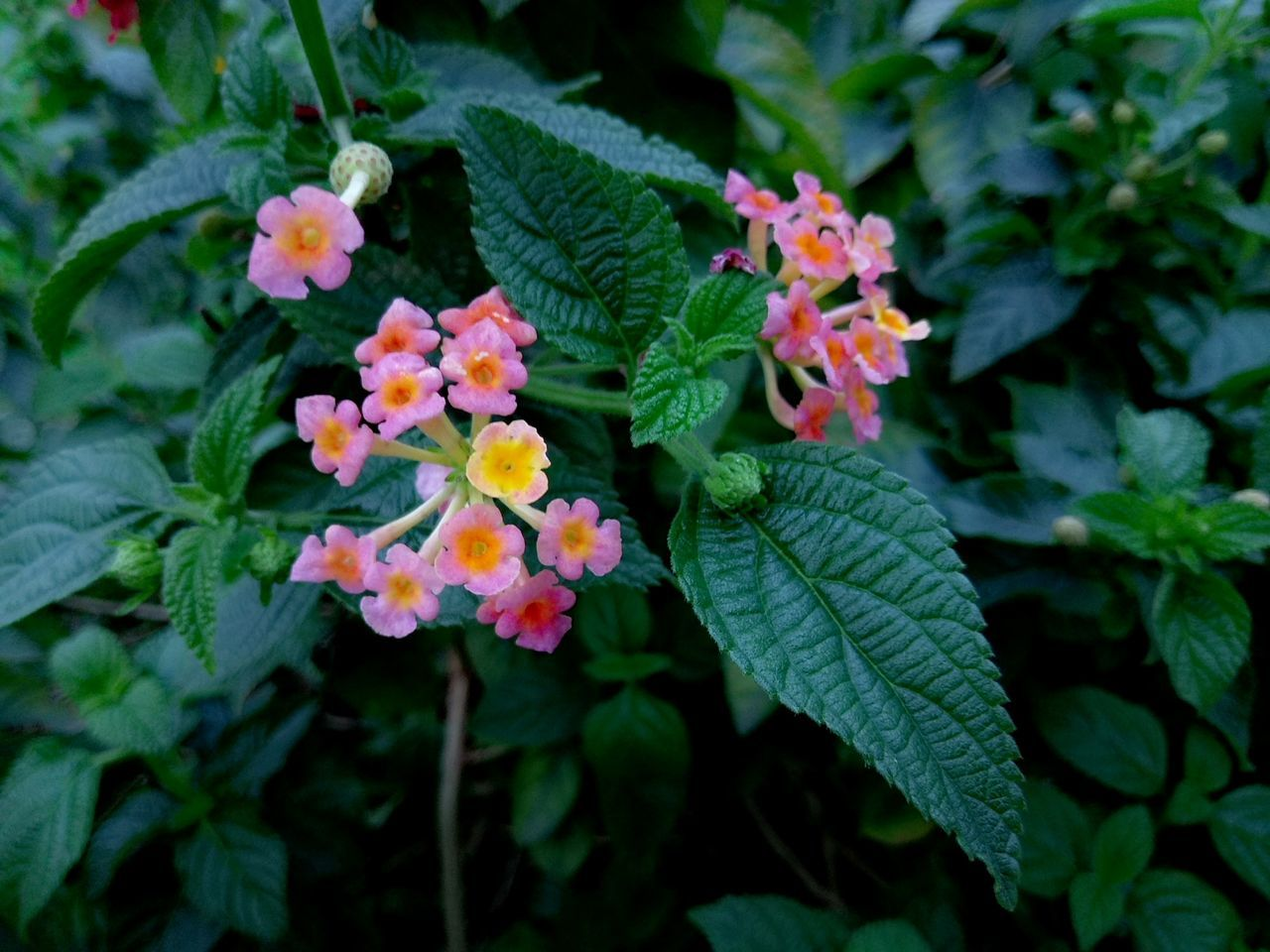 Flower Plant Leaf Nature Growth Beauty In Nature Blooming Green Color No People Fragility Lantana Camara Lantana Freshness Petal Flower Head Outdoors Day Close-up 台灣 花 美麗 植物 風景 馬櫻丹