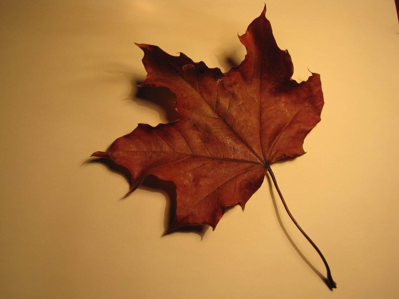 autumn, leaf, maple, change, dry, maple leaf, close-up, fallen, no people, nature, day, white background, outdoors, fragility, beauty in nature