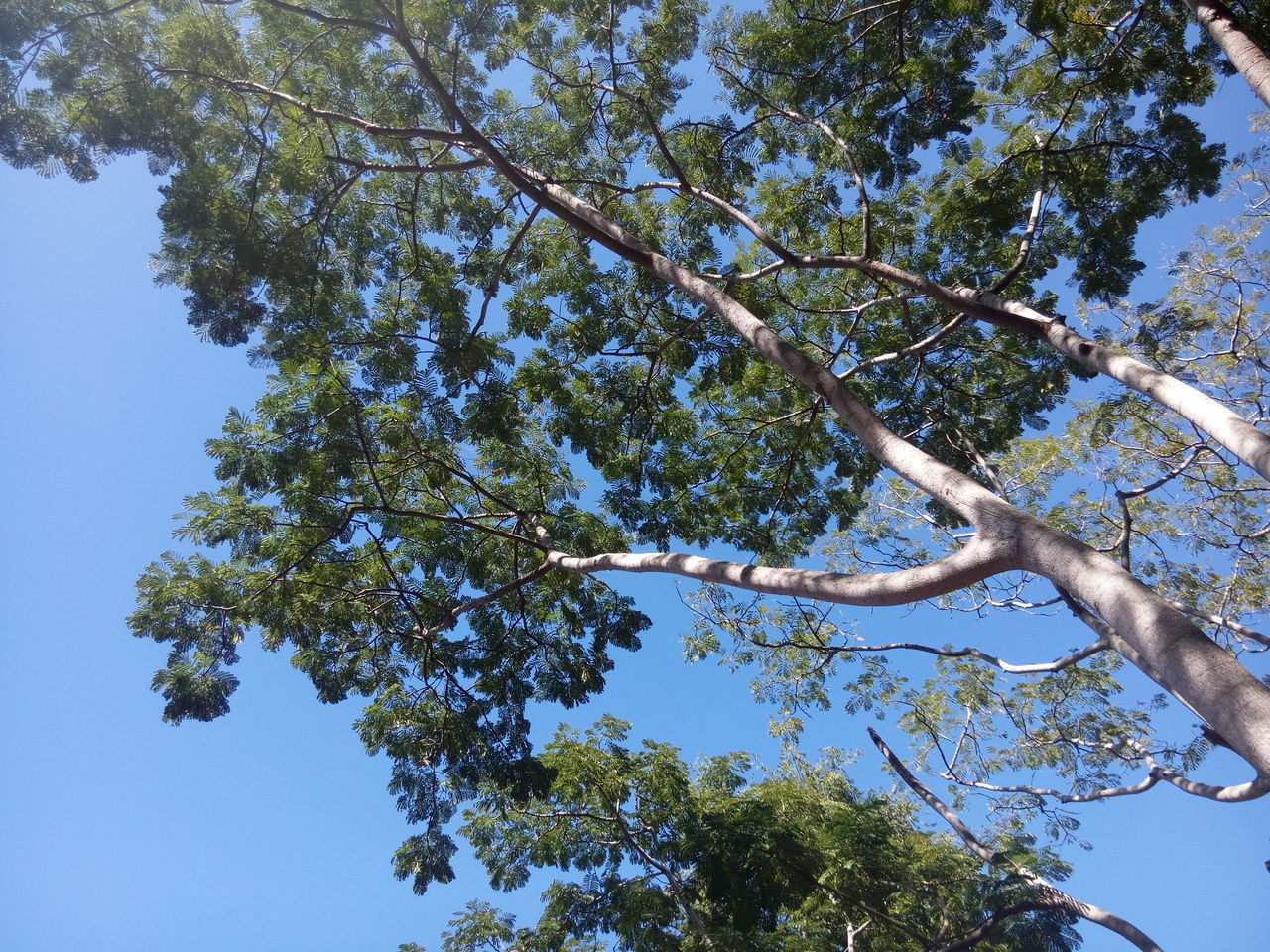 tree, low angle view, growth, branch, nature, day, beauty in nature, no people, outdoors, sky, clear sky, tranquility, blue, leaf, scenics, blue sky