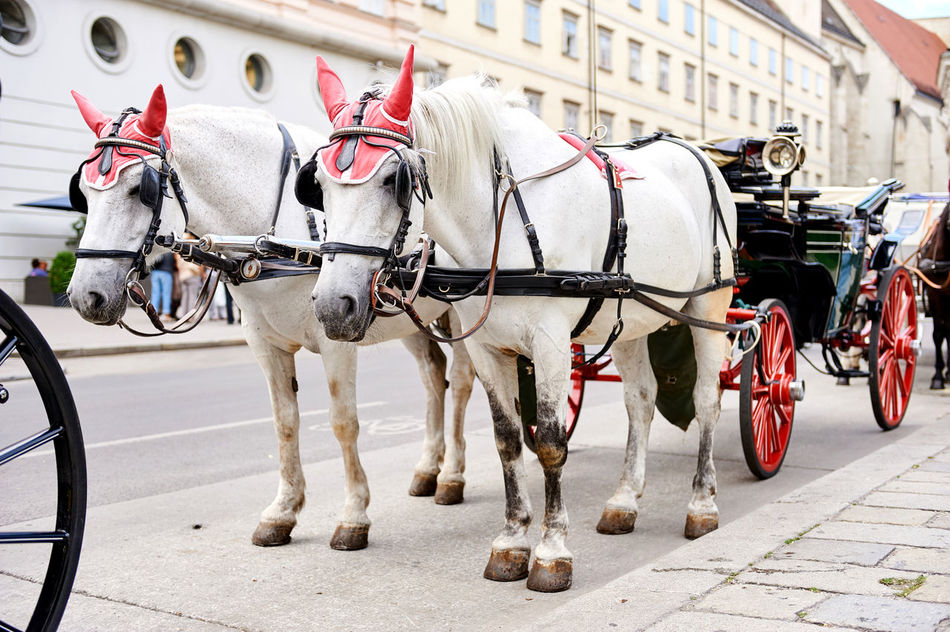 Horse-drawn carriage (Fiacre) waiting for a tourists in the old city in Vienna, Austria Animal Austria Austrian City Classic Horse-drawn Carriage Horse-driven Horses Imperial Landmark Mammals Old Town Sights Sightseeing Tourism Tourist Attraction  Traditional Travel Urban Vienna White Wien