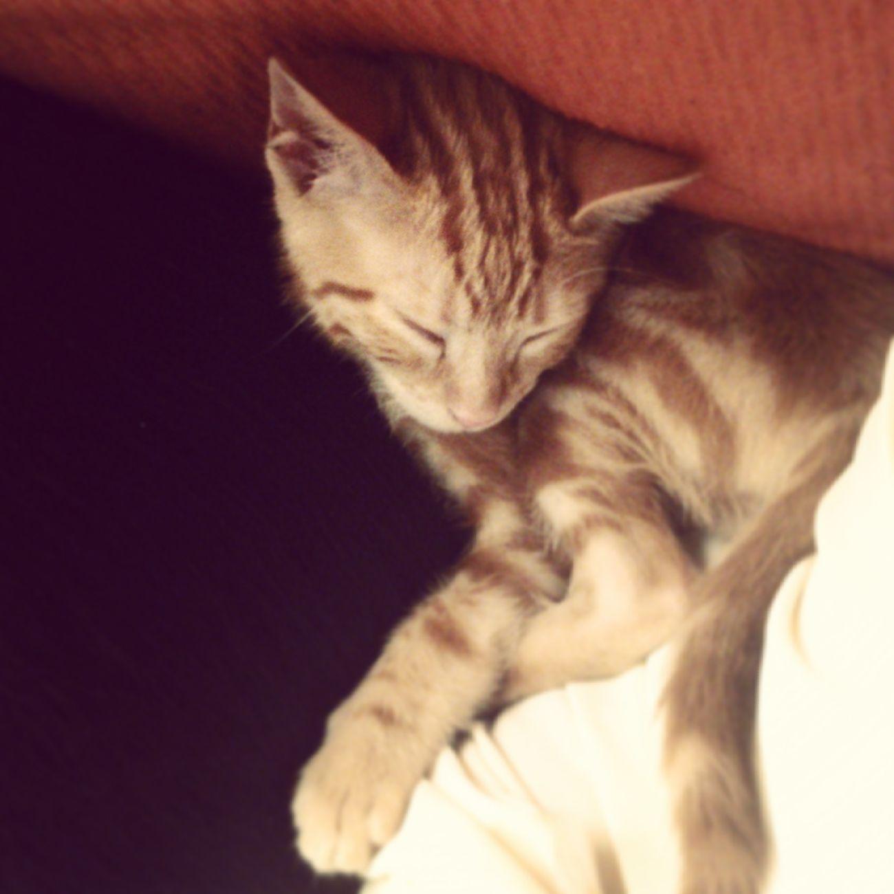 Gatito Dormir Sueño Gato Naranja