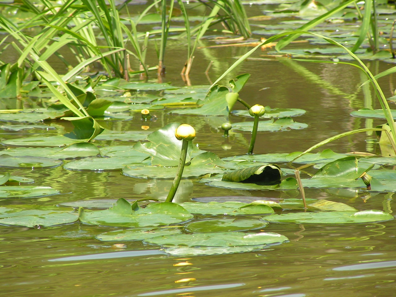 Beauty In Nature Close-up Day Floating On Water Freshness Lake Leaf Lily Pad Nature No People Outdoors Reflection Tranquil Scene Tranquility Water Louisiana Bayou Louisiana Swamp