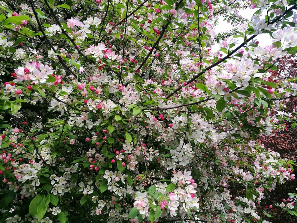 Tree Branch Branches Freshness Botany Nature Blossoming Tree Blossoming Fresh & Bright Pink And White Blossoms Pink And White Pink White And Green Buds And Blossoms Springtime Beauty In Nature Outdoors Full Frame Close-up Tree P9 Huawei Blossom Flower Street Tree Photography Evening Blossoms Spring Freshness