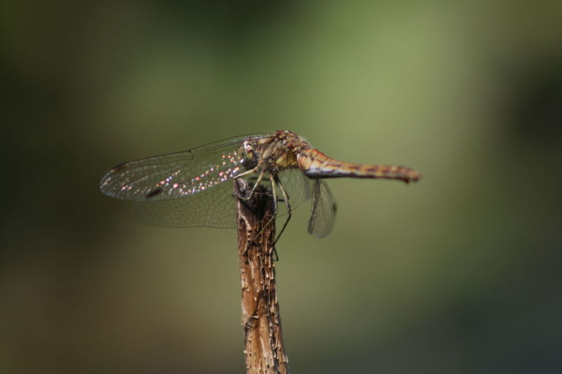 Insect Animal Wildlife Animals In The Wild Focus On Foreground Green Background Dragonfly_of_the_day Macro Nature Macro_collection Macro Photography Investing In Quality Of Life Breathing Space Canonphotography Canon_photos Shooting Again Canon 70d Eos70d Just Me And My Camera No Filter, No Edit, Just Photography No Edit/no Filter Canon EOS 70D Pure Photography Macro Close-up No People One Animal EyeEmNewHere The Week On EyeEm