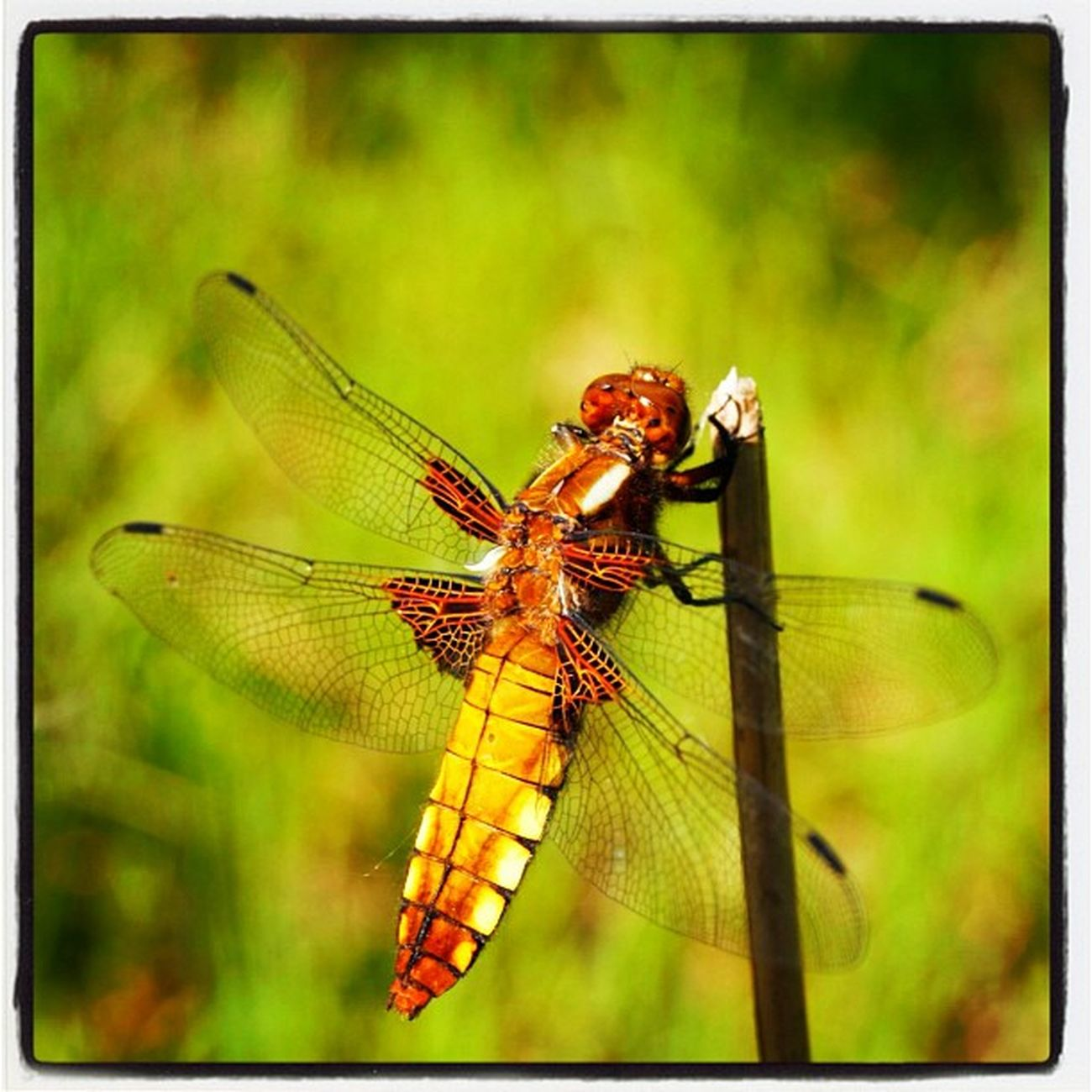 Libelle Dragonfly Ig_nature Insect nature