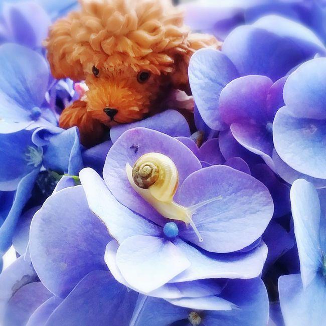 紫陽花とカタツムリとトイプードル かわいい Lovely 紫陽花 紫陽花-hydrangea- Hydrangea カタツムリ トイプードル Flower Flower Collection Flowerlovers EyeEm Nature Lover Nature_collection Flower Photography