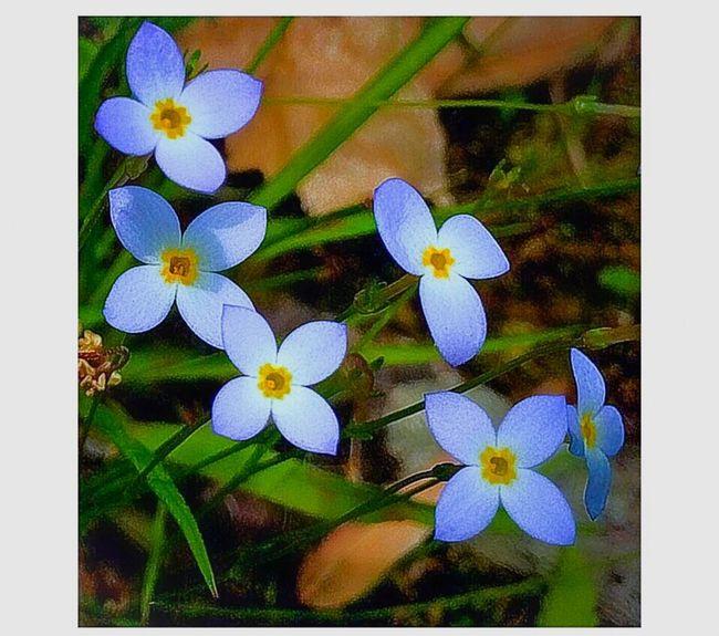 Bluets (Houstonia caerulea) Relaxing Enjoying Life Taking Photos Still Life IPhoneography Nature Nature Photography Wildflowers