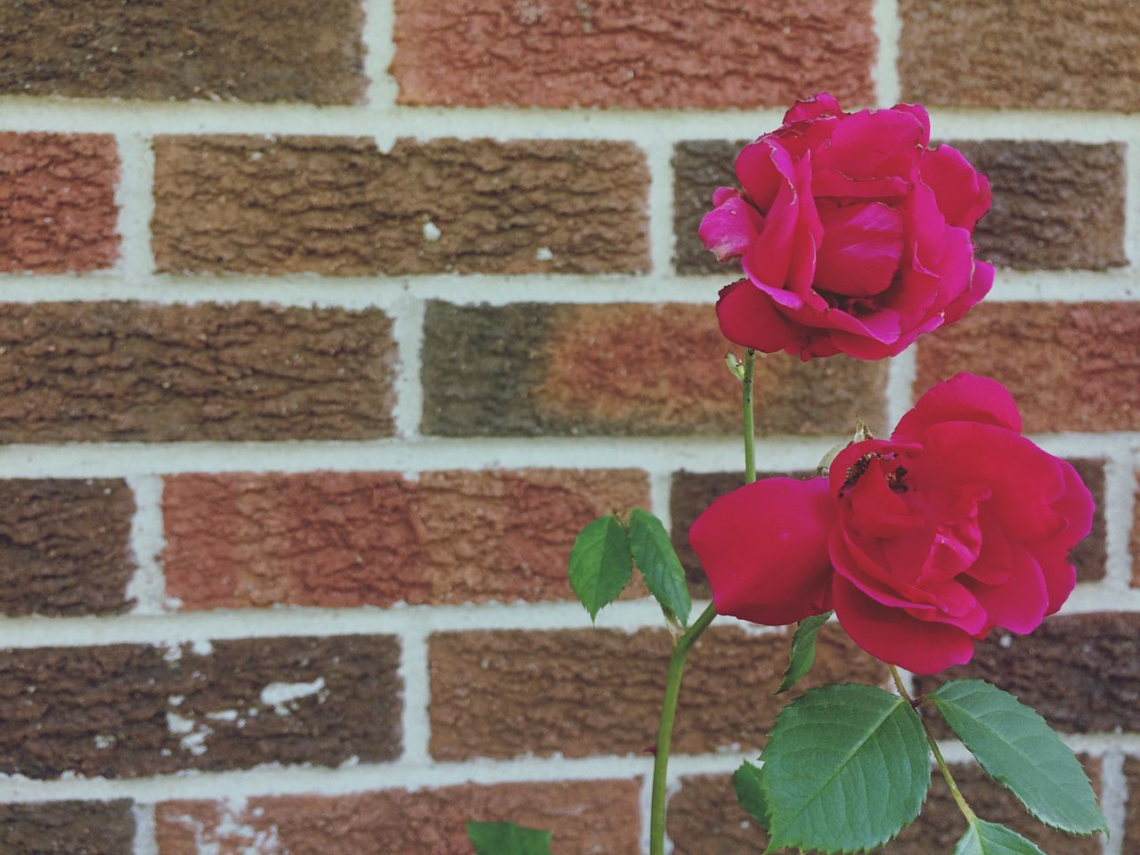Brick Wall Flower Wall - Building Feature Red Beauty In Nature Growth Nature Outdoors No People Plant Petal Fragility Close-up Day Pink Color Focus On Foreground Freshness Leaf Blooming Architecture