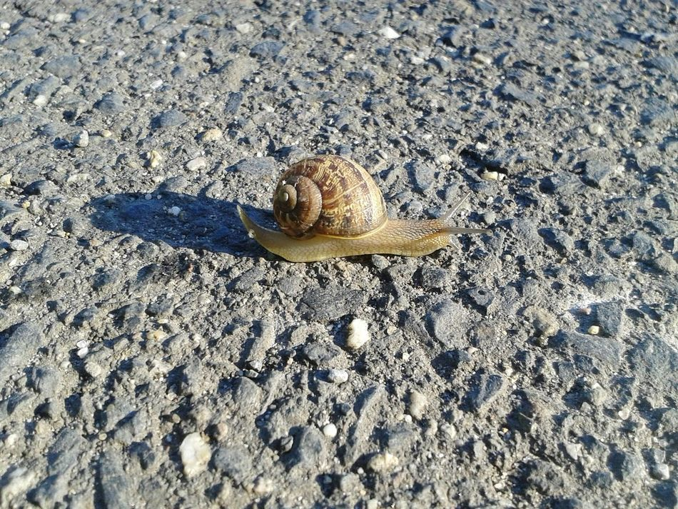 The One On The Road Attention Please Spazieren Und Fotografieren EyeEm Outdoors EyeEm Nature Lover Snail🐌 Snail On The Road Snail ❤ Schnecke Shadow
