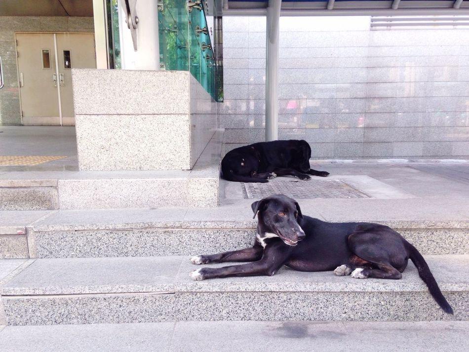 Black dog Thai Street Dog Black Dog At MRT Ratchadapisek Relax Dog Guarding Looking Sleep Two Dog Thai Dog On Steps Bangkok Thailand