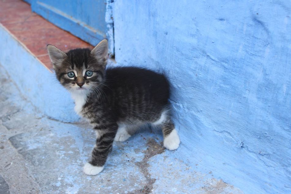 Animal Themes Blue City Blue Eyes Blue Wall Cat Chaouen Chefchaouen Chefchaouen Medina Chefchaouen Rif Mountains Day Feline Kitten Kitty Morocco One Animal Outdoors Pets Portrait Small Cat Travel Destinations Travel Photography Traveling