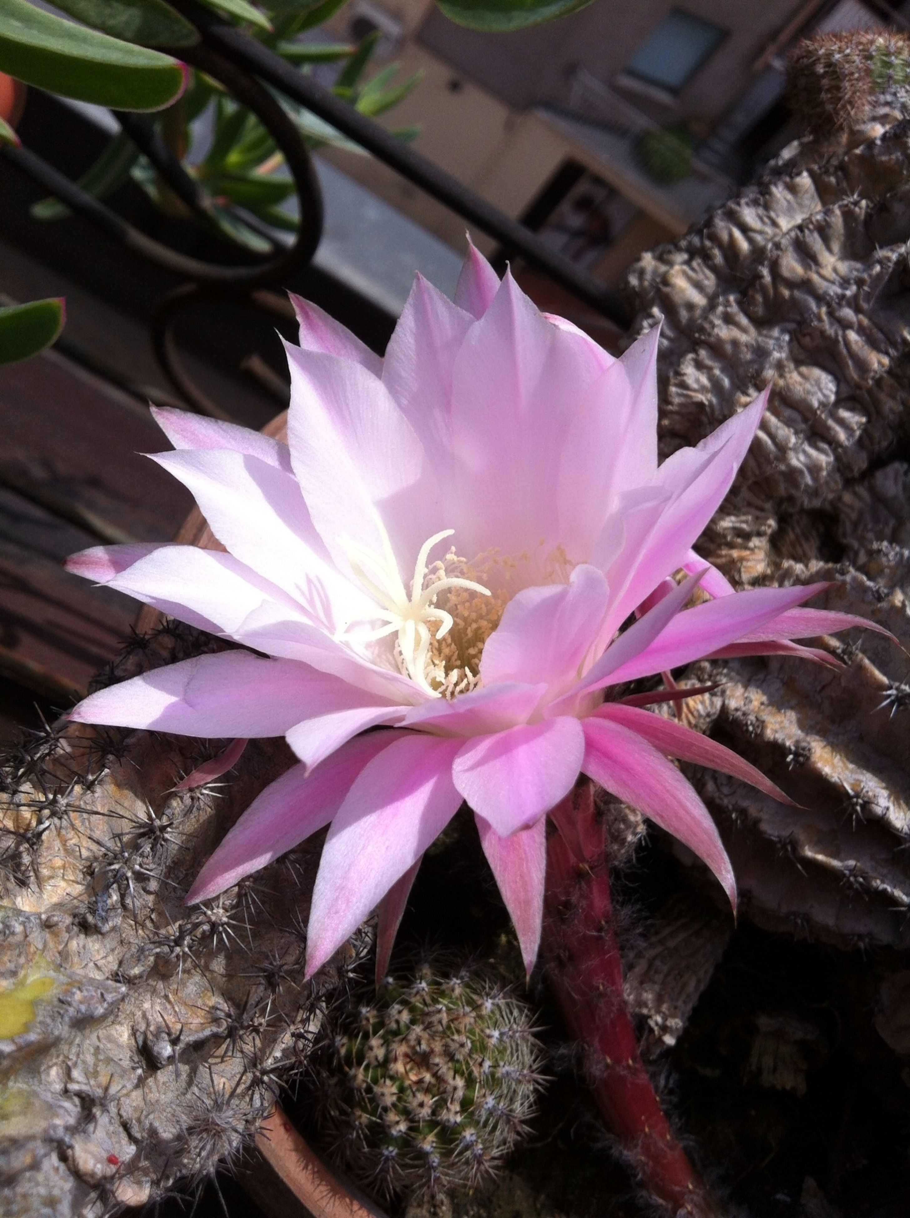 flower, petal, fragility, freshness, flower head, pink color, growth, single flower, beauty in nature, close-up, high angle view, leaf, nature, blooming, purple, plant, pollen, water lily, in bloom, stamen