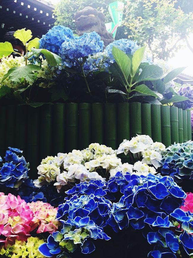 Hydrangea Japan EyeEm Best Shots Flower Shrine