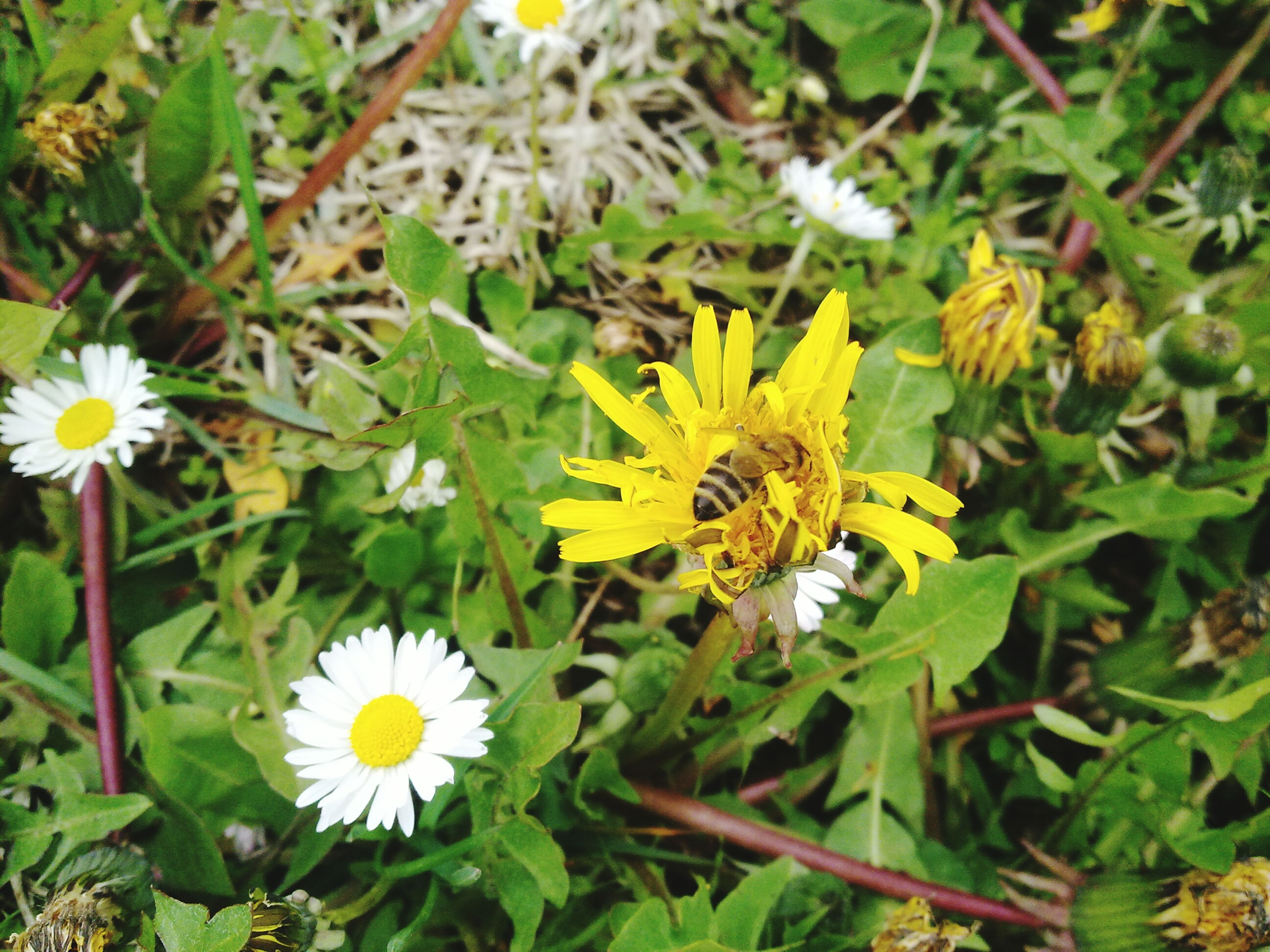 flower, insect, animal themes, one animal, animals in the wild, wildlife, freshness, petal, fragility, flower head, growth, pollination, yellow, beauty in nature, plant, daisy, bee, nature, high angle view, pollen