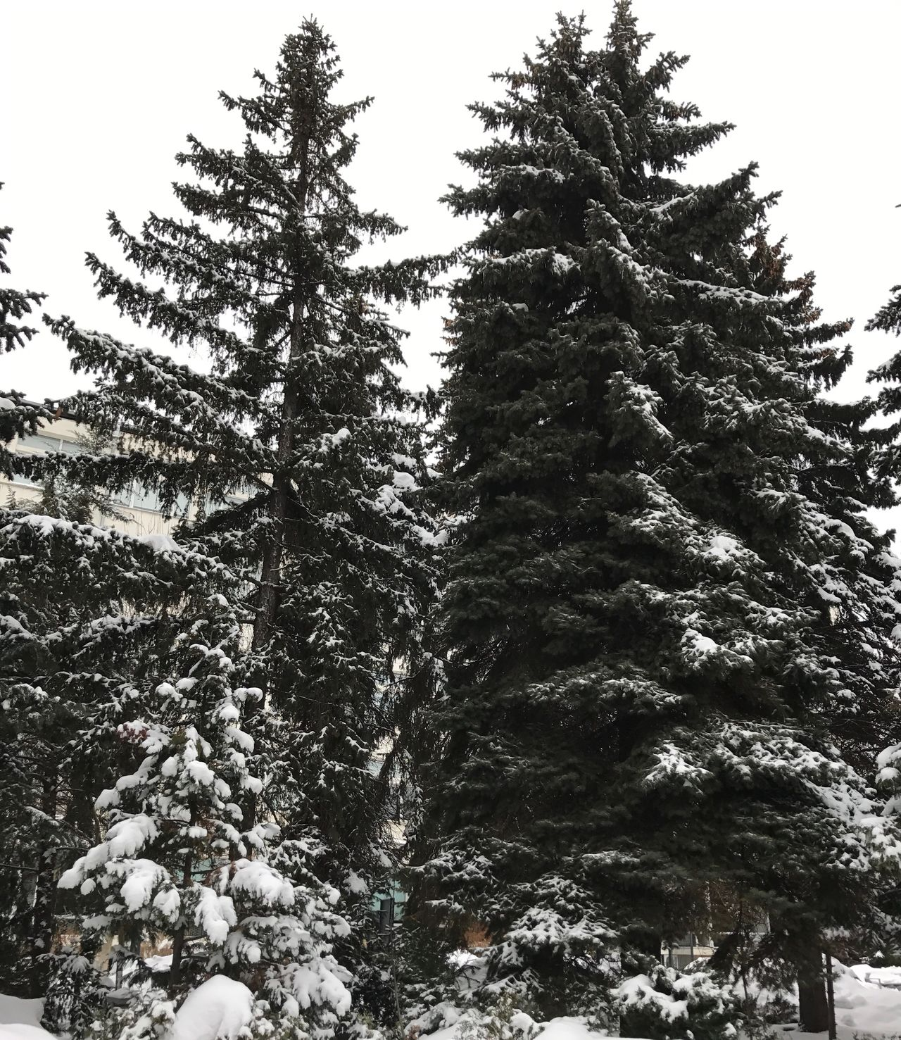 Snow Trees Snow Trees Tree Winter Nature Pine Tree Cold Temperature Growth Beauty In Nature No People Low Angle View Coniferous Tree Outdoors Scenics Branch Day Christmas Tree Sofia, Bulgaria
