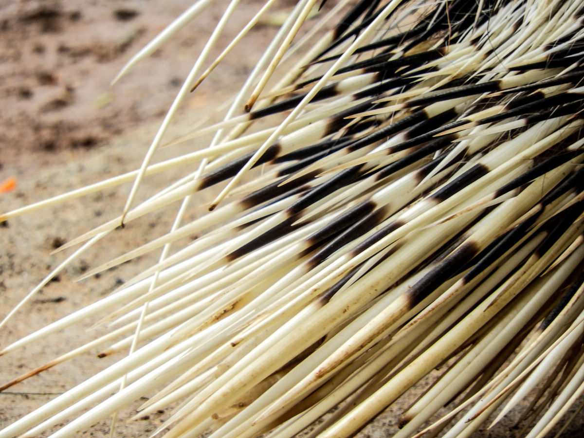 Close-up No People Full Frame Pattern Backgrounds Nature Day Outdoors Growth Puercoespin Porcupine