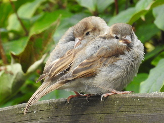 2 young housesparrows cuddle together. Animal Themes Animal Wildlife Animals In The Wild Bird Close-up Nature Nikon No People Outdoors P900 Young Animal