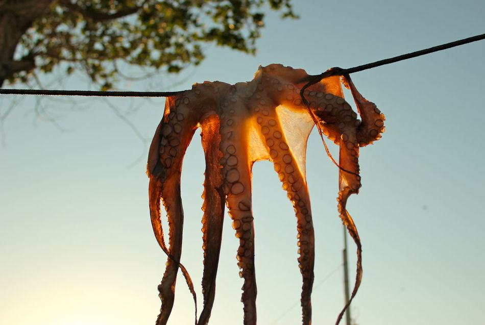 Beautiful stock photos of octopus, Clear Sky, Day, Dead Animal, Drying
