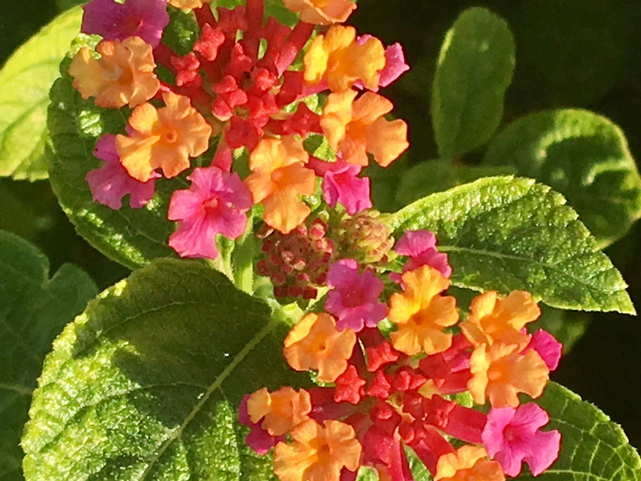 Colorful Lantana blooming in south Texas Blooms , Flowers,gardens,beauty In Nature,outdoors,freshness
